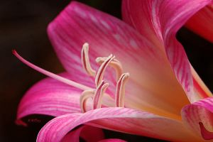 Lily Stamens by AdamsWife