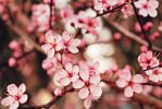 Cherry Blossoms! by YourEvilAddiction