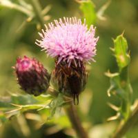 Holding on a Thistle by Seqbre