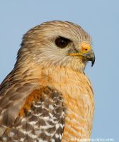 Red Shouldered Hawk by FForns