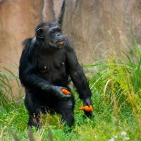 chimp34 by redbeard31