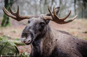 Moose -I see You by AndersStangl