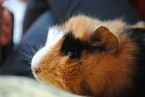 My guinea pig by Little--Decoy