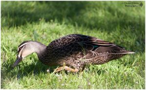 Pacific Black Duck ( Albany ) by bast4cats