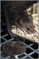 African Pygmy Mouse by aesphyxia