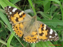 Painted Lady by Terrydunk