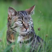 Tiger in meadow portrait by solariahues