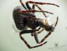 Walnut Orb Weaver with prey - Nuctenea umbratica by TheFunnySpider