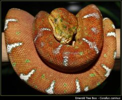Emerald Tree Boa by pdxcabby