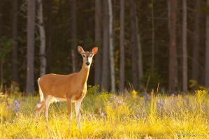 White-tailed deer by gnohz