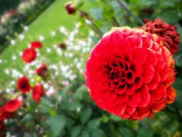 Red Dahlia by Terwyn