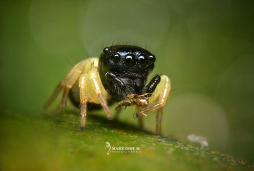 Jumping Spider by travellerplanet