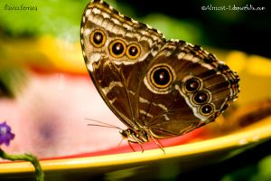 The Peleides Blue Morpho by almost-1
