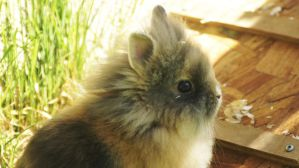 Abby - the miniature lionhead by SpirityTheDragon
