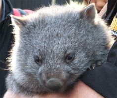 Wombat by bjjlenore