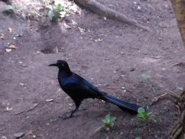 Great-tailed grackle by Herikayela