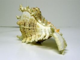 Conch Shell Stock17 by NoxieStock