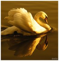 Swan : I by absentiae