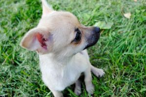 Adoptable Chihuahua Puppy 2 by Strange-1