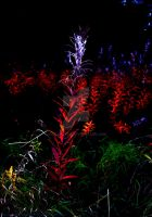Red Weed 3 by PhilipWebb