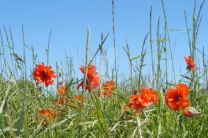 Red Flowers and Blue Sky by Svataben
