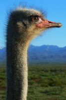 Ostrich by FalconNL