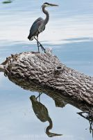 Great Blue Heron No. 3 by Katastrophey