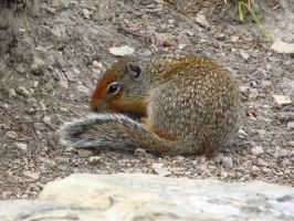 Young Ground Squirrel by koshplappit