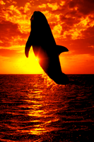 sunset dolphin by 9madgirl9