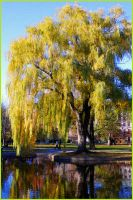 Weeping willow by KellyManaghan