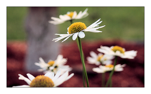 Daisies 4 by MichelleMarie
