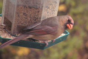 A Northern Cardinal - female by JocelyneR