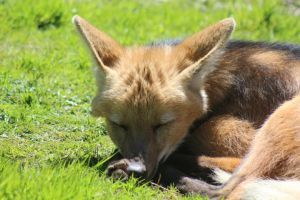 Maned Wolf 3 by lucky128stocks