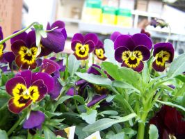 Purple and Yellow Pansies by theNanna