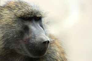 Baboon portrait by myp55