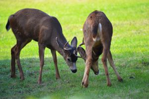 Young bucks rutting by ShannonCPhotography