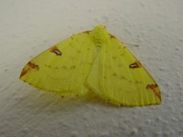 Brimstone Moth by Front Door by SrTw