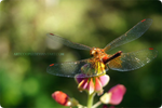 Dragonfly by ArtCouple