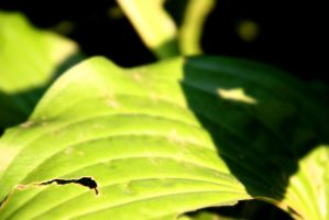 Hosta Leaf by CassidyJames