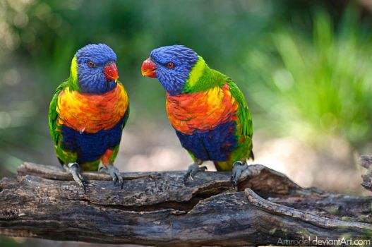 Rainbow Lorikeets II by amrodel
