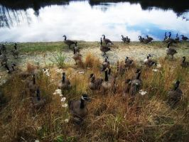 Geese Invasion by Misty2007