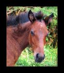 Sooty Colt by Demira