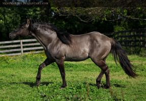 grullo stallion 1 by venomxbaby