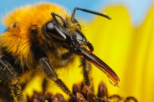 Feeding Bumblebee on a Sunflower by dalantech