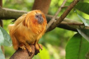 Golden Lion Tamarin by Fauxtographique