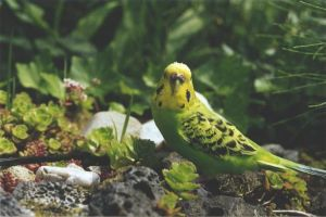 Budgie_Sitie by RiverRaven
