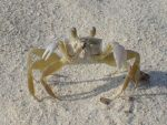 Sand Crab by MapleRose-stock