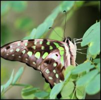 Tailed Jay by craftworker