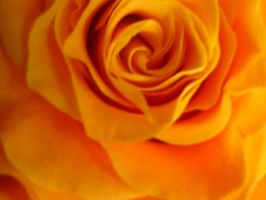 Yellow Rose II by mihi2008