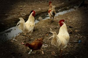 Chickens by aflores167